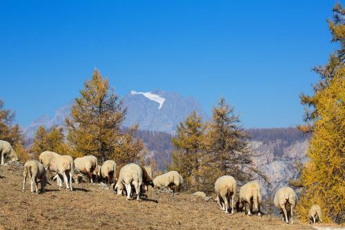 Moutons et Mont Pelvoux à l'automne